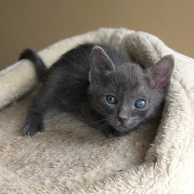 chaton korat à vendre